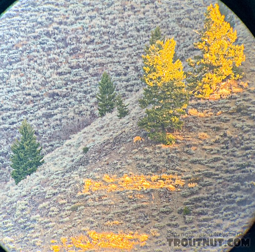 You can see the right antler lit up on this little buck, viewed from about 600 yards away across a steep valley.
