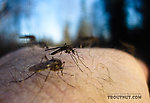 Testing the limits of my dedication to producing insect pictures, I held still for several shots with these mosquitoes on my wrist, trying to get one with good focus. From Mystery Creek # 115 in Alaska.