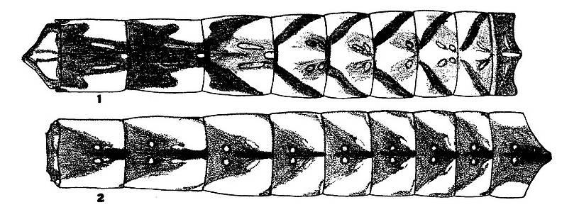 In this picture: Mayfly Species Hexagenia atrocaudata (Late Hex).