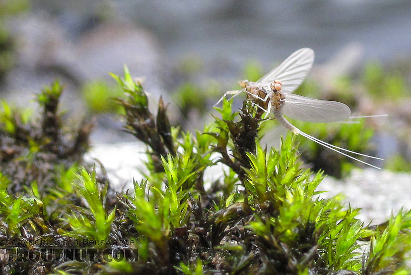 In this picture: Mayfly Family Baetidae (Blue-Winged Olives). From Byers Creek in Alaska.