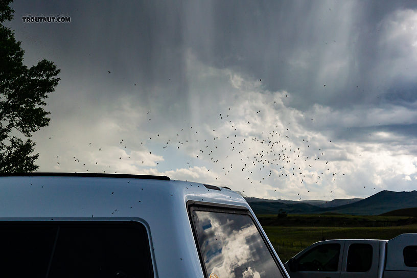 We arrived at the parking lot on the Madison to find clouds of caddisflies swarming around everything, including every tree and vehicle in the parking lot.  In this picture: Insect Order Trichoptera (Caddisflies). From the Madison River in Montana.