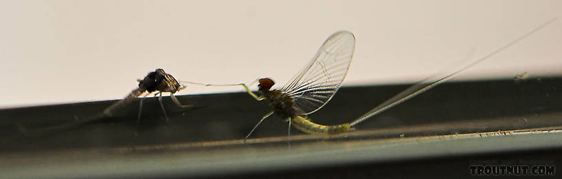 Often mayflies can be found on houses near the river.  This one molted from a dun into a spinner on the outside of our kitchen window.