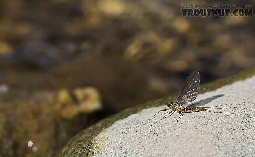 In this picture: Mayfly Species Epeorus pleuralis (Quill Gordon).