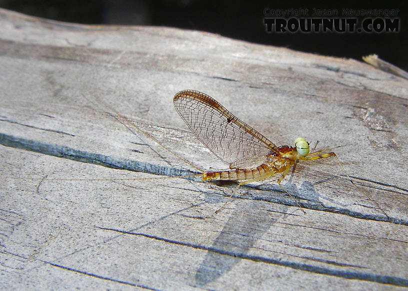 In this picture: Mayfly Species Stenacron interpunctatum (Light Cahill).