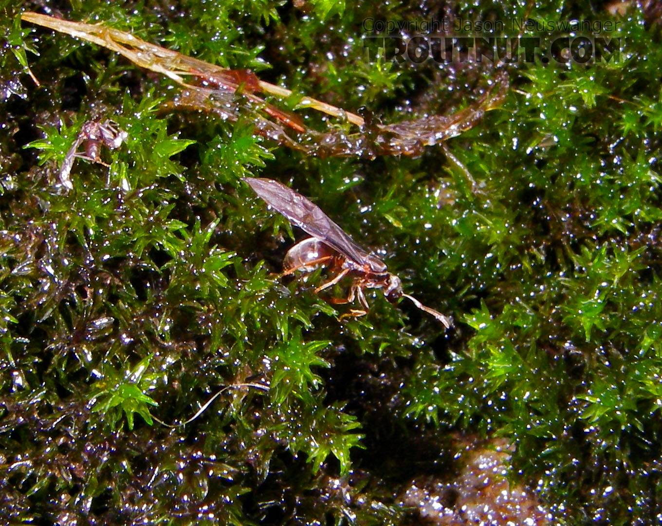 This winged ant was on a mossy rock in the middle of a small stream. From Rondout Creek in New York.