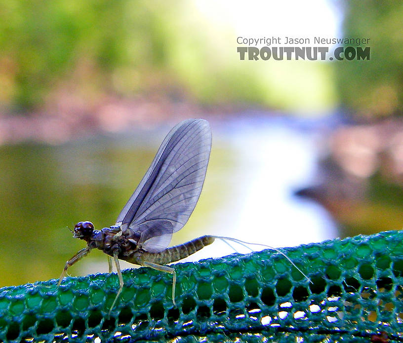 In this picture: Mayfly Species Drunella cornuta (Large Blue-Winged Olive). From Brodhead Creek in Pennsylvania.