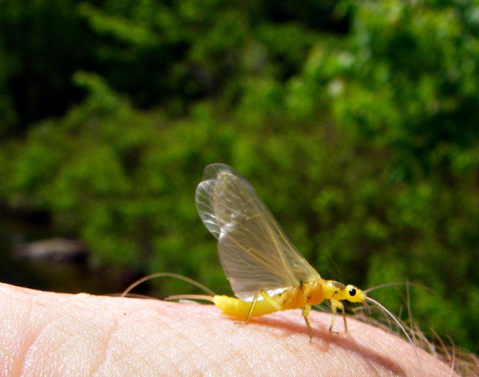 This stonefly is doing its best to pretend to be a mayfly. From Mystery Creek # 42 in Pennsylvania.