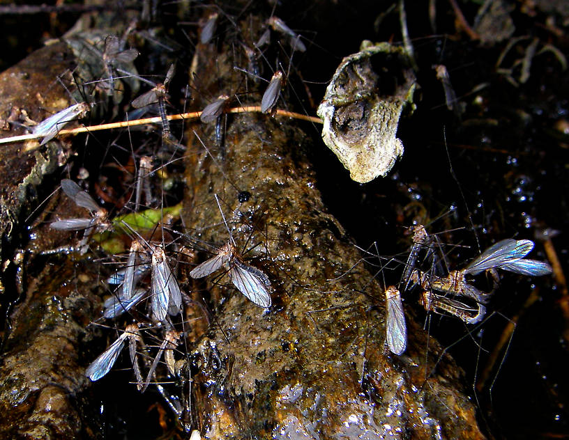 Several craneflies formed a mating cluster here in a dark rootwad along the bank of a large limestone trout stream. From Penn's Creek in Pennsylvania.