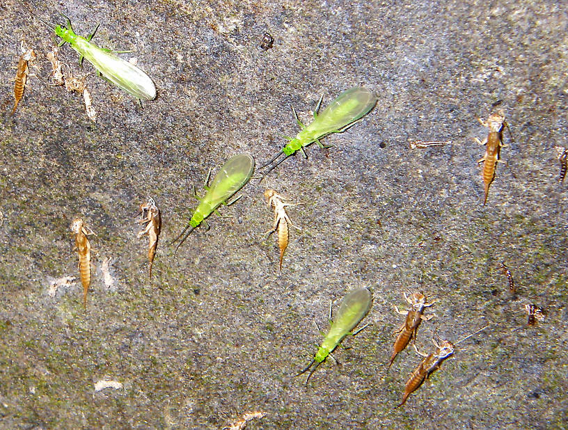 In this picture: Stonefly Family Chloroperlidae (Sallflies). From Brodhead Creek in Pennsylvania.