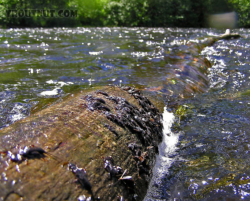 When the freshly shed nymphal skins of large stoneflies cover a log like this, imitating the nymphs is a good bet for large trout. From the Namekagon River in Wisconsin.