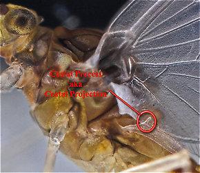 The costal process of a Baetidae dun.