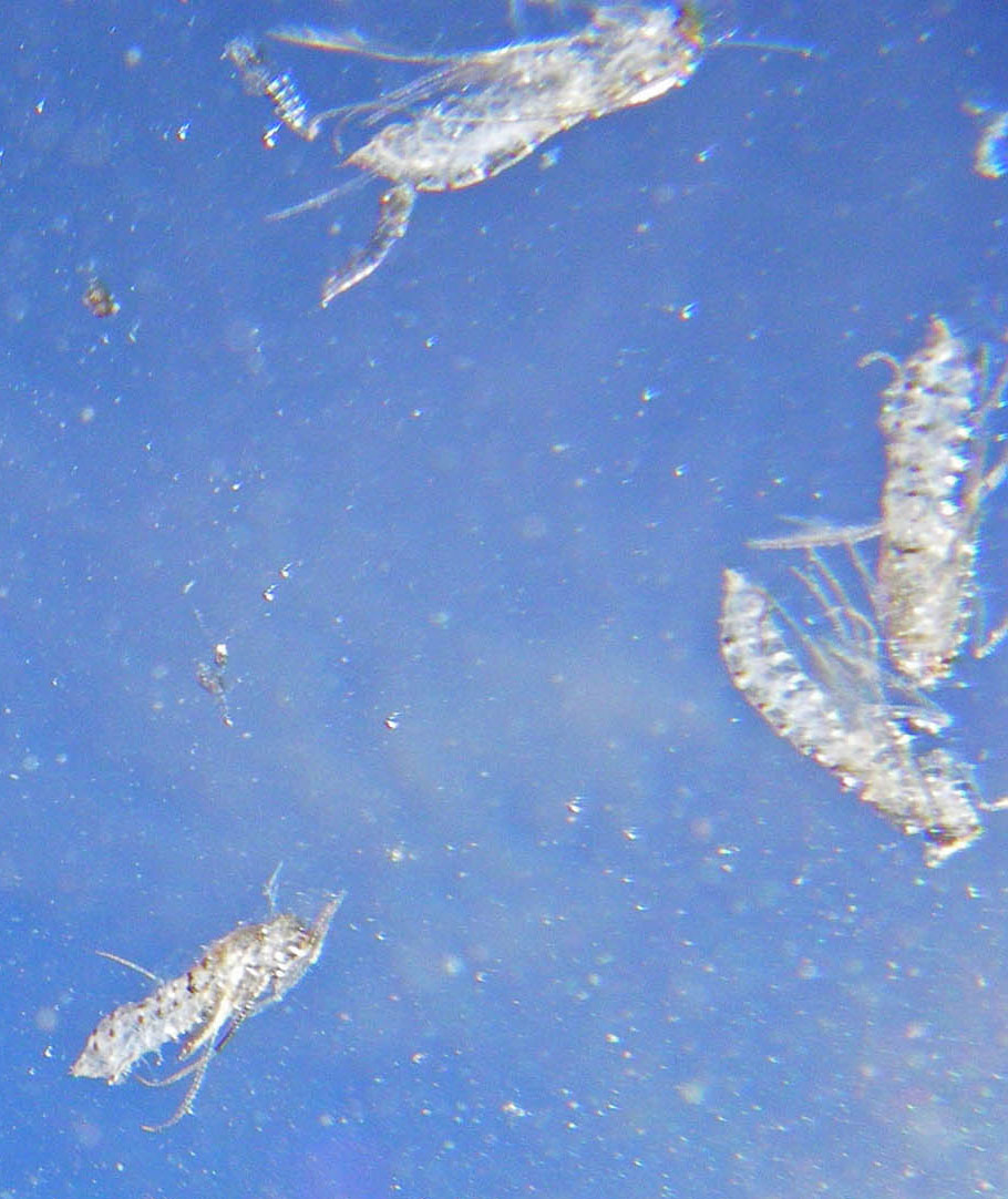 Here's an underwater view of the pupal shucks of several already-emerged Brachycentrus numerosus caddisflies.