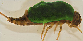 The carapace of this Baetisca laurentina nymph is highlighted in green.