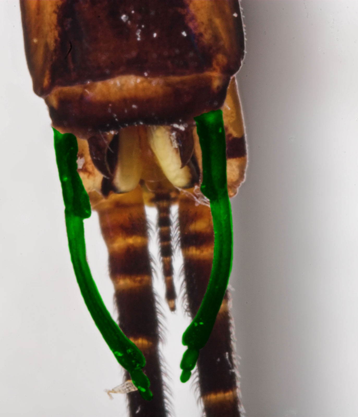 The claspers of this male Hexagenia atrocaudata mayfly spinner are highlighted in green.