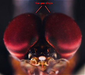 The compound eyes of a male Isonychia bicolor mayfly spinner.