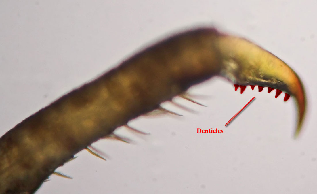 The denticles on the tarsal claw of this Ephemerella nymph are highlighted in red.
