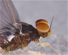 This male Baetidae dun has slightly turbinate eyes.
