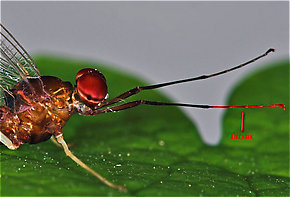 The tarsus of this Isonychia bicolor mayfly spinner is highlighted in red.
