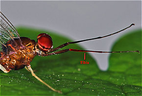 The tibia of this Isonychia bicolor mayfly spinner is highlighted in red.