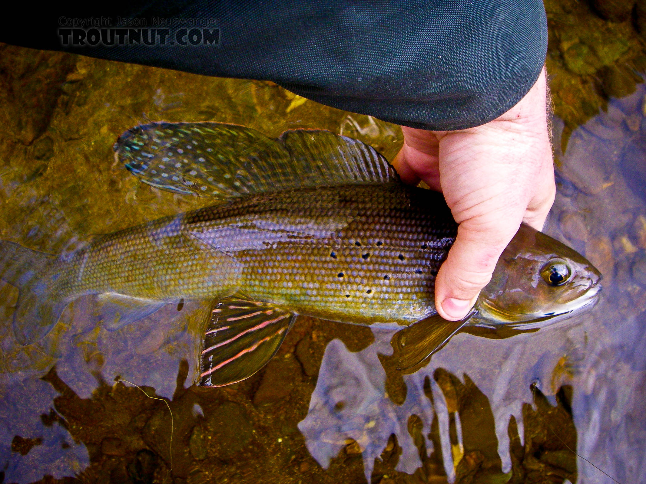 It's hard to capture the full beauty of a well-colored arctic grayling in a photo that can't show its iridescence.  This one was just so colorful he pretty much made up for it. From Fish Creek in Alaska.
