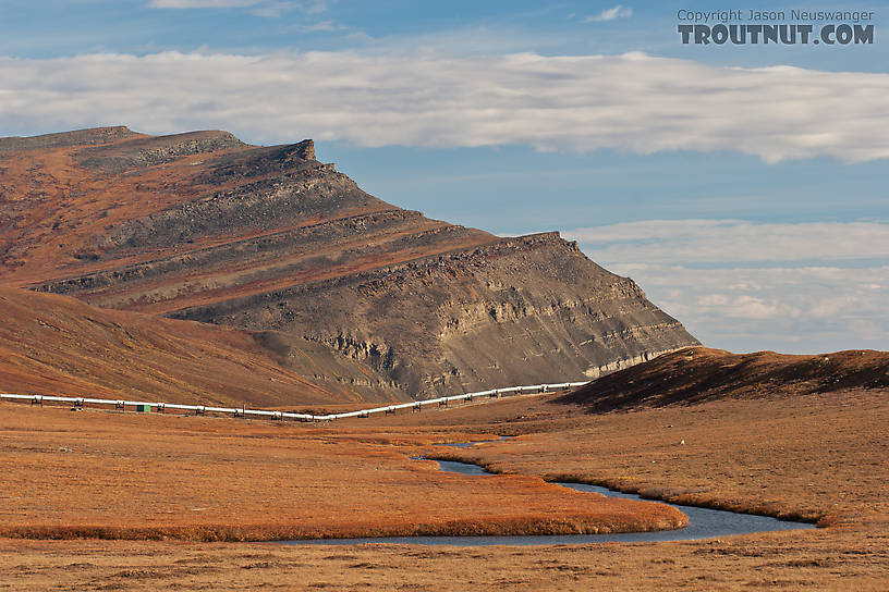 Here Oksrukuyik Creek flows away from the Dalton Highway toward the pipeline.  It eventually grows into one of the major rivers of the North Slope, and the main drainage to the west of the Sag, but where it crosses the road it's just a small grayling stream. From Oksrukuyik Creek in Alaska.