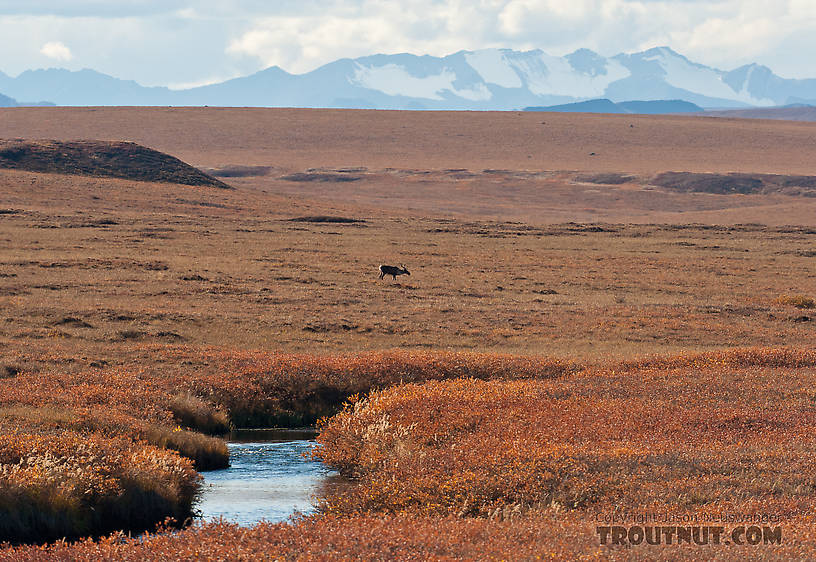 A cow caribou behind the Kuparuk River, with the Philip Smith Mountains of the Arctic National Wildlife Refuge (ANWR) in the background. From the Kuparuk River in Alaska.