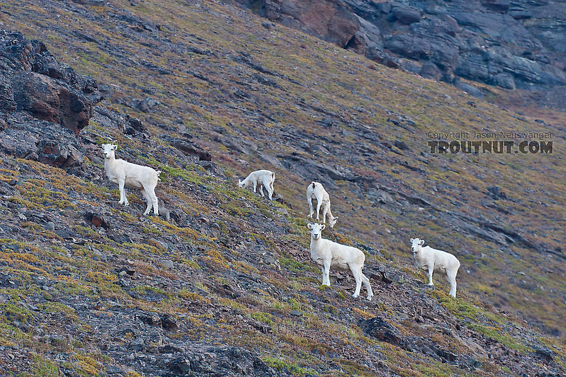 Dall sheep on the side of the mountain overlooking Galbraith Lake, north of Atigun Pass. From Dalton Highway in Alaska.
