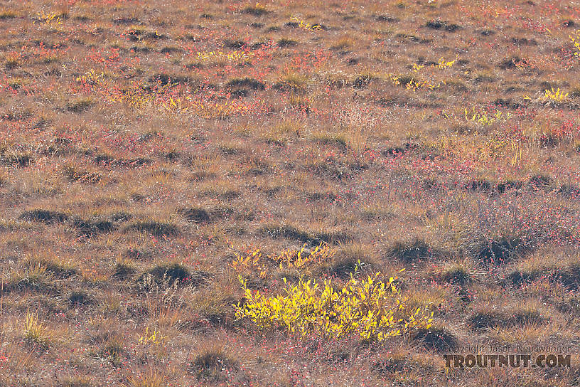 This close-up of the tundra gives you some sense of what it's like to walk on the stuff.  I've heard it compared to walking on a mattress stuffed with basketballs. From Dalton Highway in Alaska.