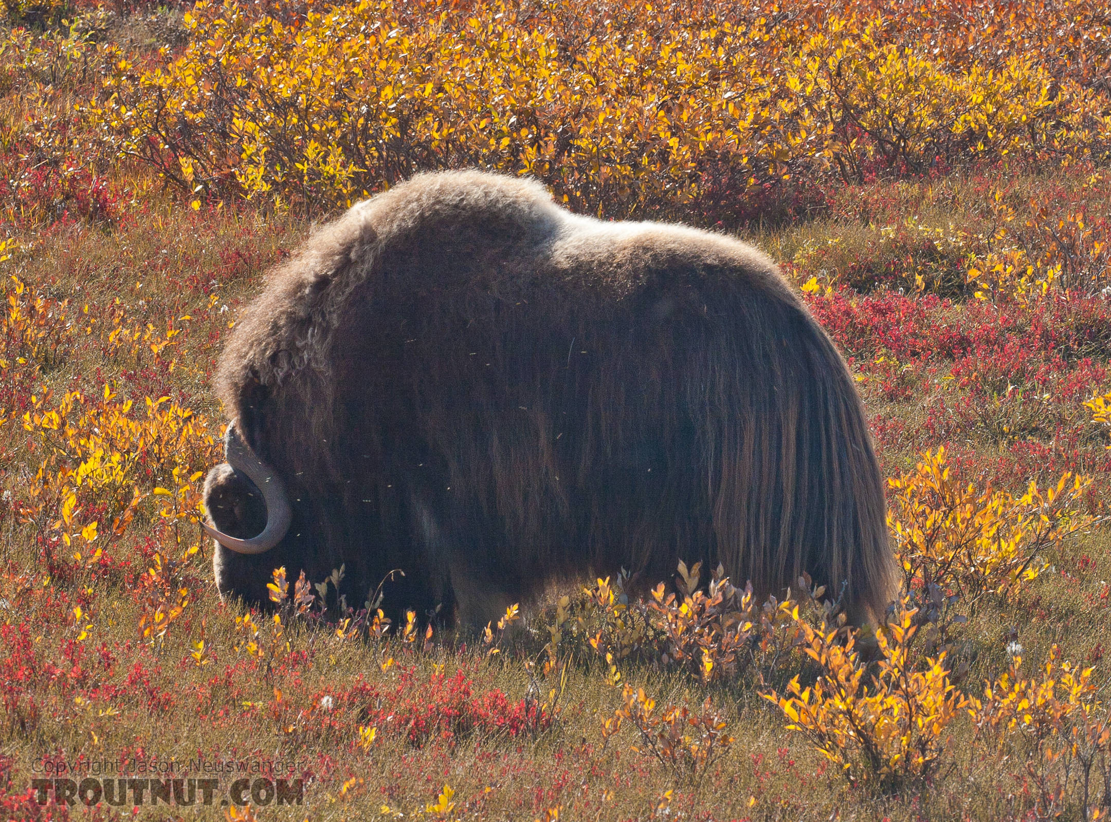 A musk ox grazing near the Sag River in the coastal plain. From Dalton Highway in Alaska.