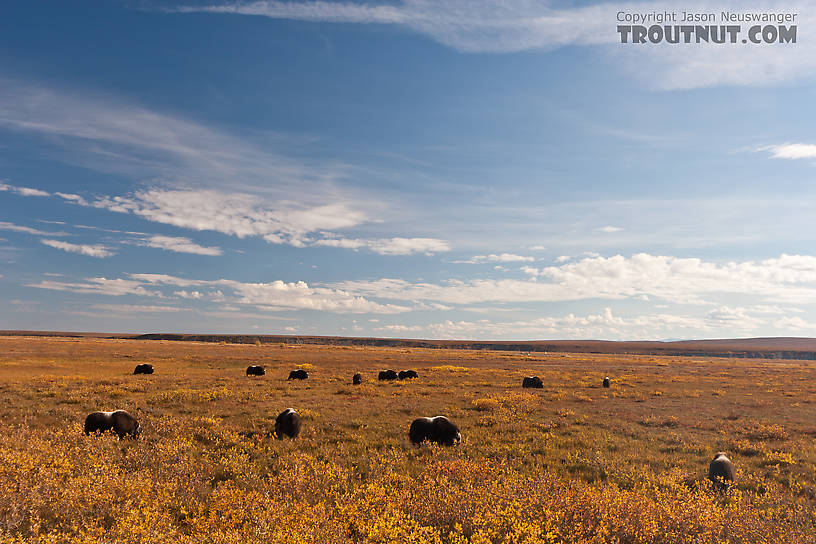 More of the same herd of musk oxen. From Dalton Highway in Alaska.