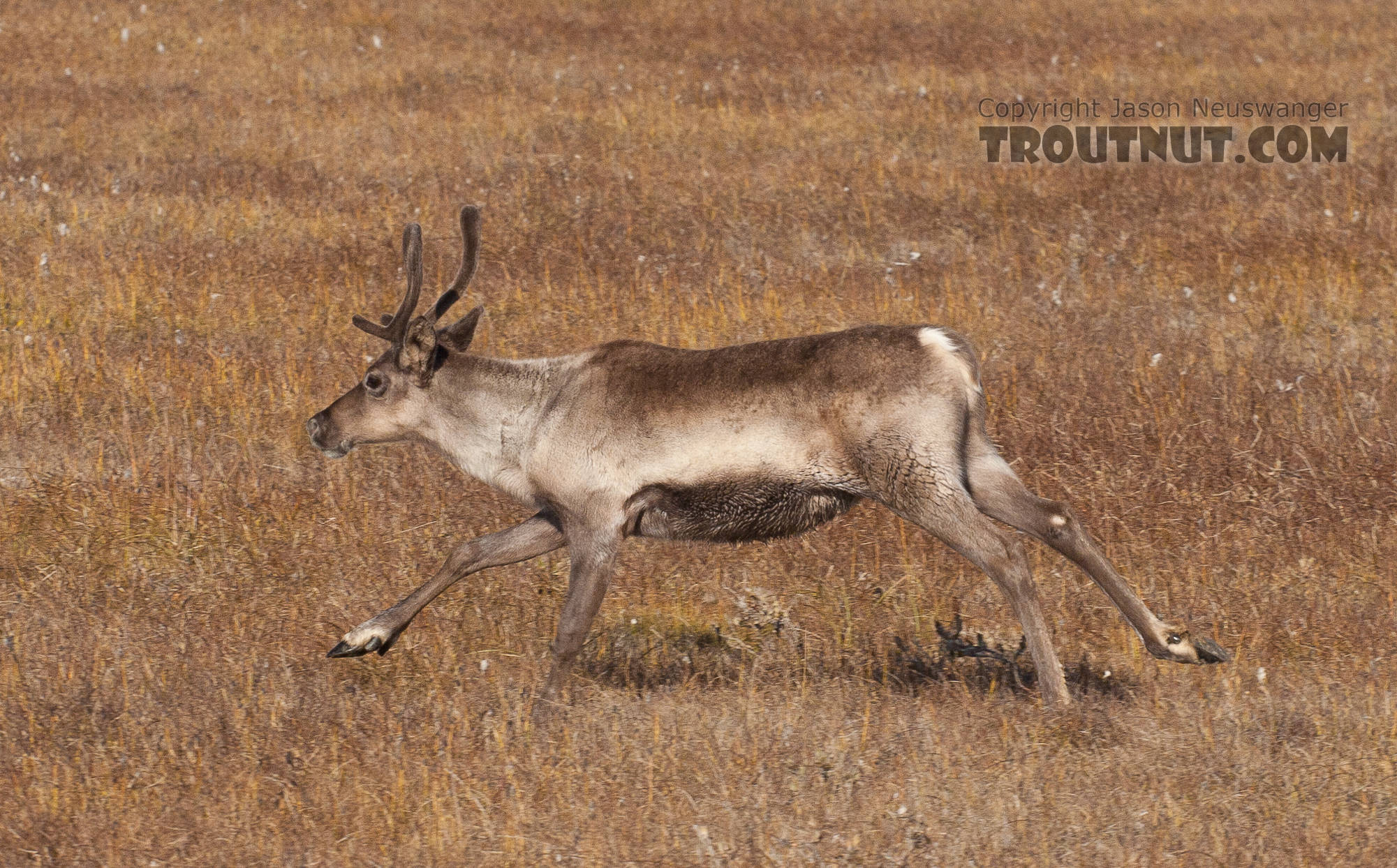 This cow caribou ran across the road in front of my car. From Dalton Highway in Alaska.