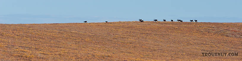 A herd of caribou (all cows) crossing over a hilltop near the Kuparuk River. From Dalton Highway in Alaska.