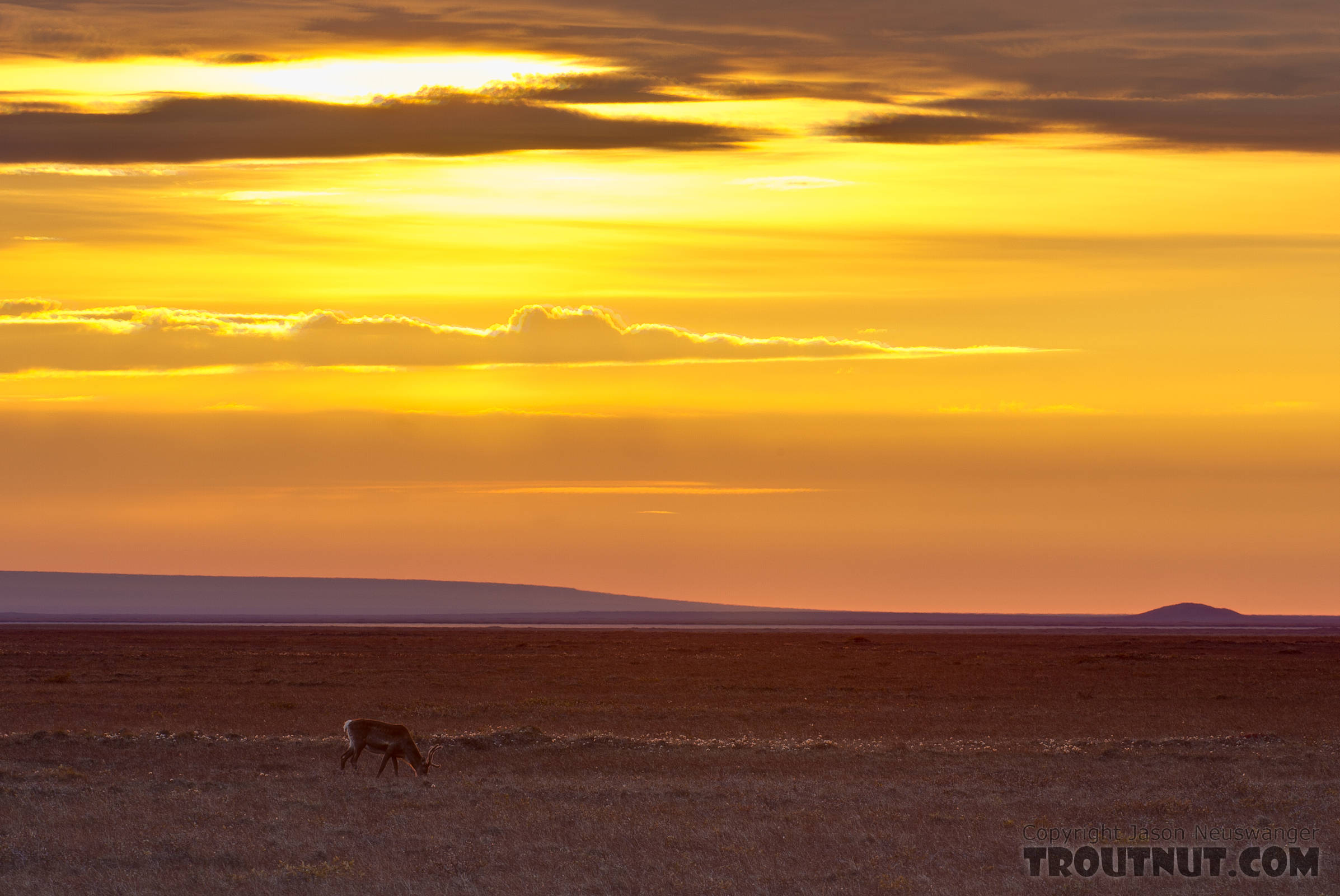 A lone caribou grazes on the Arctic coastal plain near Prudhoe Bay. From Dalton Highway in Alaska.