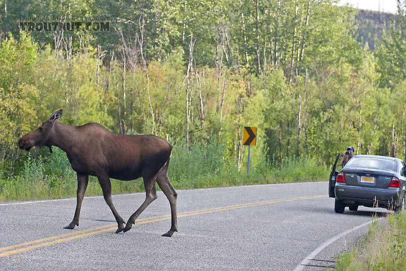 One of the most common sights on Chena Hot Springs Road is a moose crossing the road.  The next most common sight is somebody taking a picture of the moose crossing the road. From the Chena River in Alaska.