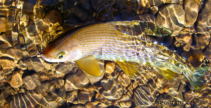 This pretty little grayling fell for a well-placed beetle imitation. From the Chena River in Alaska.