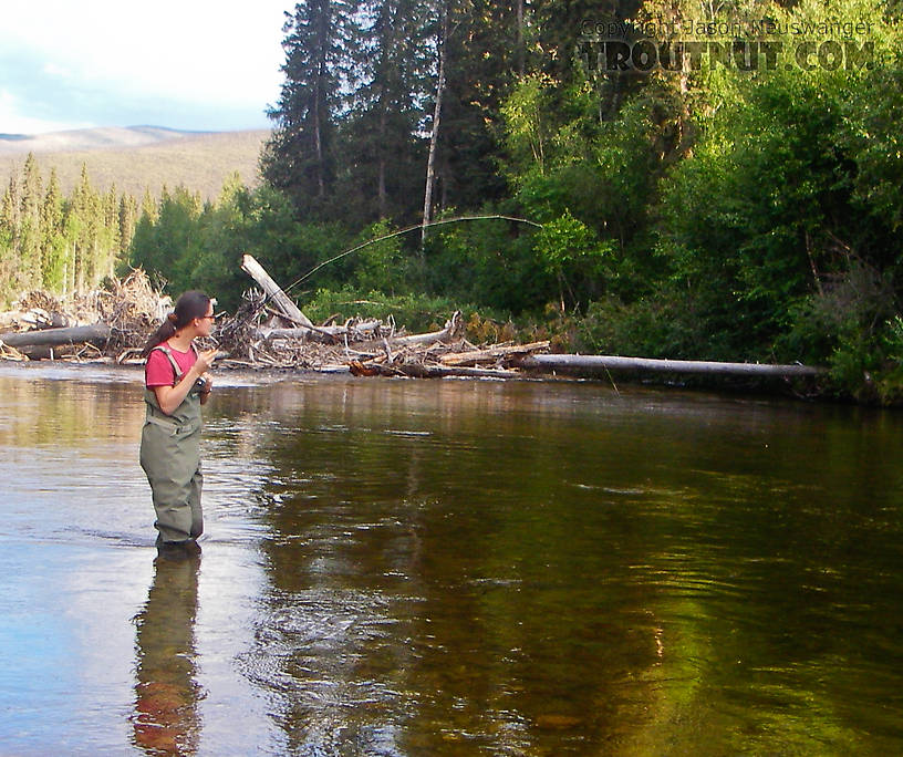 My wife plays her first grayling. From the Chena River in Alaska.