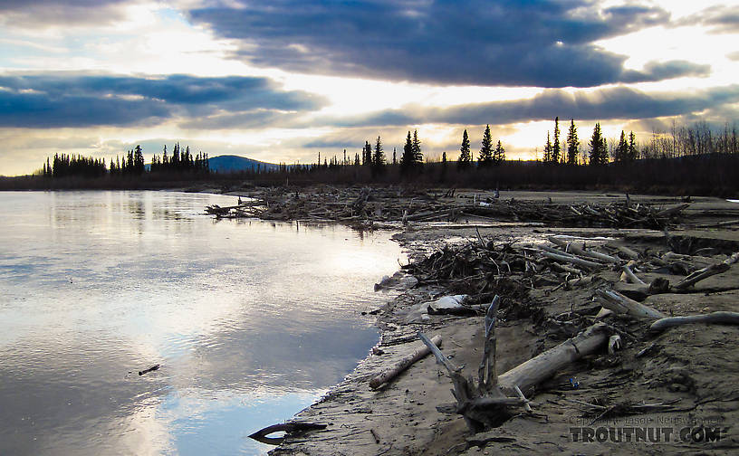 The water is exceptionally low right now on the Tanana, leaving most of the logjams high and dry.  The area on the right in this photo is underwater during much of the summer. From the Tanana River in Alaska.