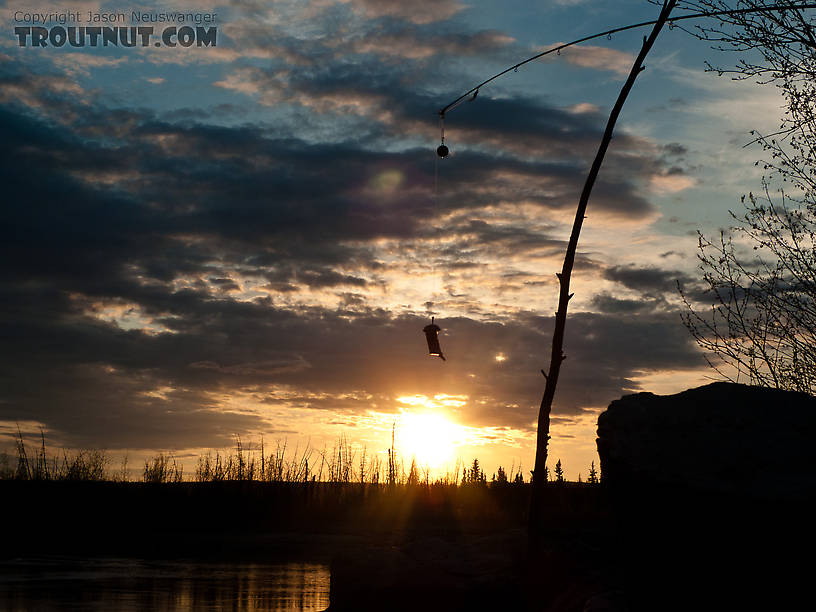 Cut herring bait dangles from the tip of a spinning rod... not my usual gear! From the Tanana River in Alaska.