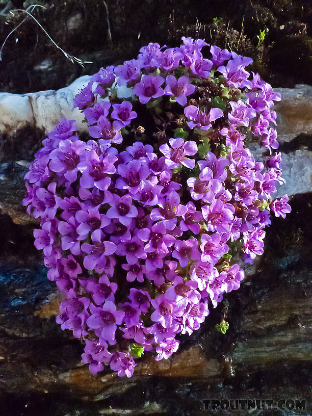 Purple mountain saxifrage. From Gunnysack Creek in Alaska.