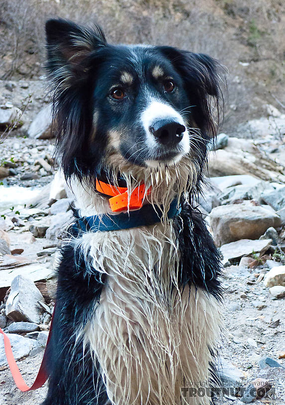 Taiga looks pretty happy here for a dog with several porcupine quills hanging from her chin. From Gunnysack Creek in Alaska.