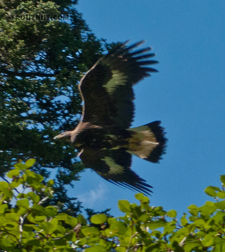 This golden eagle was probably attracted by that moose carcass. From Ruby Creek in Alaska.