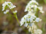 """This is """"milky draba"""" or """"milky whitlowgrass,"""" Draba lactea. From Ruby Creek in Alaska."""