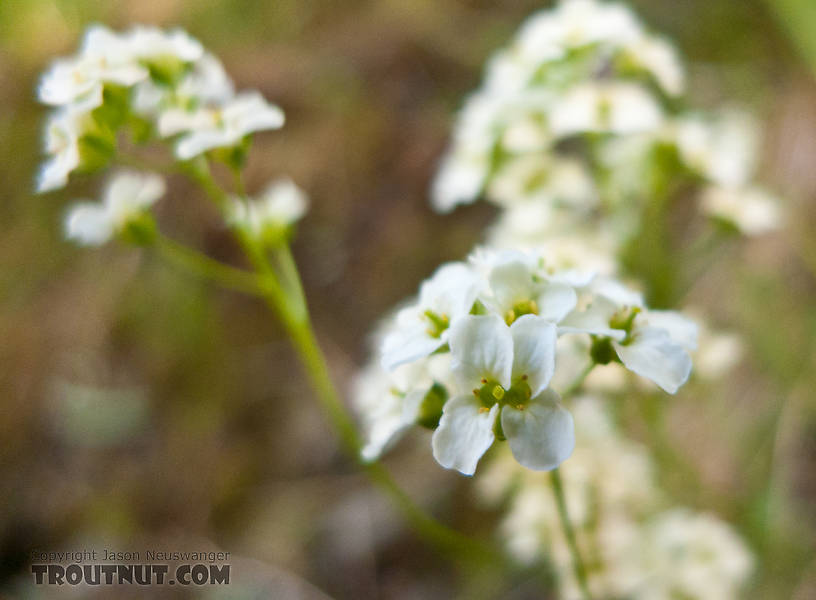 "This is ""milky draba"" or ""milky whitlowgrass,"" Draba lactea. From Ruby Creek in Alaska."