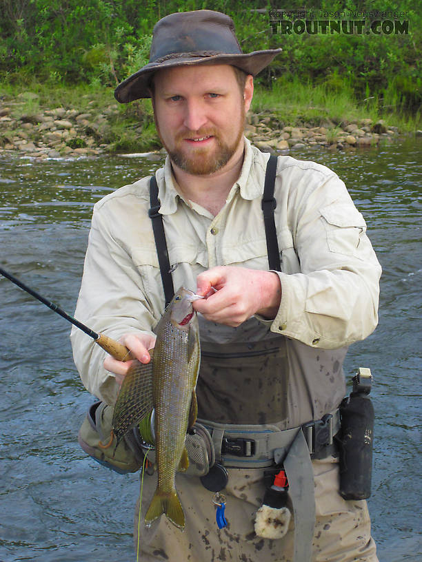 My first good-sized grayling of the year, and the biggest I've seen in this creek, about 15-16 inches. From Nome Creek in Alaska.