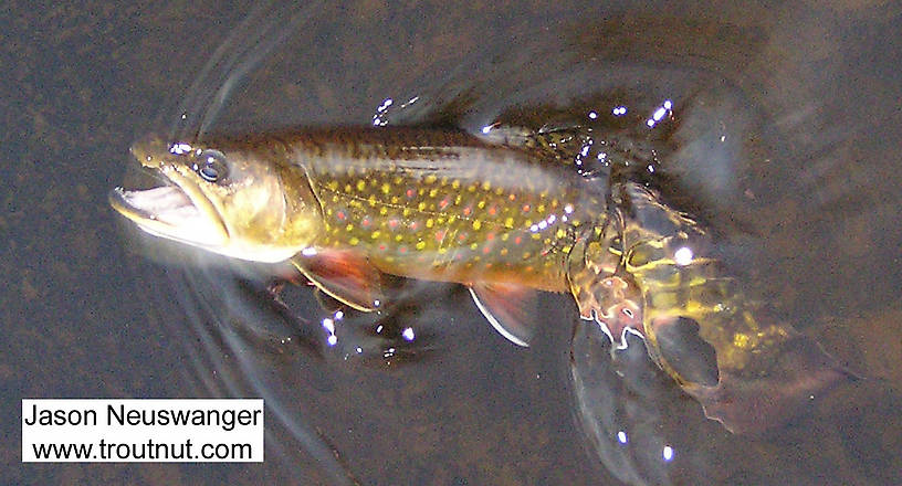 """This gorgeous 9"""" brook trout fell for a size 20 spinner on a glassy spring-fed river. From the Bois Brule River in Wisconsin."""