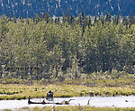 A moose feeds in wetlands in the Delta River Valley. From Richardson Highway in Alaska.