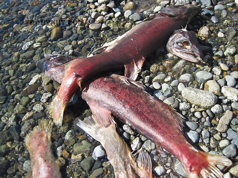 Dead sockeye salmon fertilizing the upper Gulkana River. From the Gulkana River in Alaska.