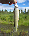 A small round whitefish. From the Gulkana River in Alaska.
