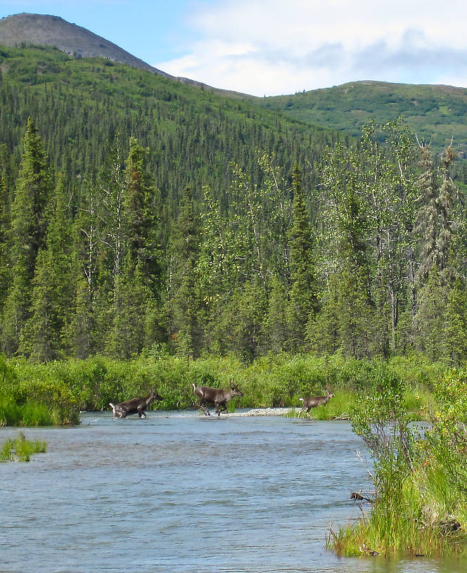 While I was taking pictures of the whitefish I caught, I heard loud splashing in the water upstream.  Two caribou cows and their calves were crossing the river.  (Only one calf is visible here.) From the Gulkana River in Alaska.