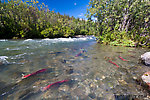 At this time of year, sockeye salmon in full spawning colors dot the edges of the upper Gulkana, and are visible from the road in a few places, including this one. From the Gulkana River in Alaska.